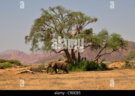 Desert Elephant (Loxodonta africana) in the dry river Huab, Damaraland, Namibia, Africa - Stock Photo