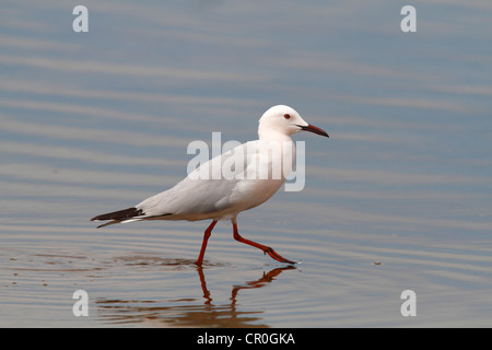 Slender-billed Gull (Larus genei), wading in shallow water, Camargue, France, Europe - Stock Photo