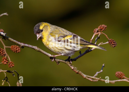 Siskin (Carduelis spinus), male perched on an alder branch - Stock Photo