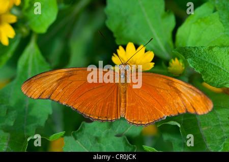 Julia Butterfly, Julia heliconian (Dryas iulia), Phuket, Thailand, Southeast Asia, Asia - Stock Photo