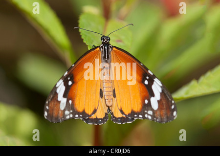 Plain tiger, African monarch (Danaus chrysippus), tropical butterfly, Phuket, Thailand, Southeast Asia, Asia - Stock Photo