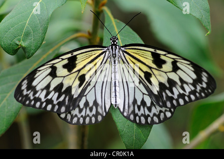 Paper Kite or Large Tree Nymph (Idea leuconoe), tropical butterfly, Asia - Stock Photo
