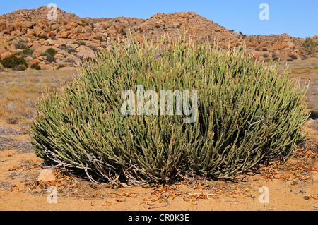 Euphorbia mauretanica in habitat, Goegap Nature Reserve, Namaqualand, South Africa, Africa - Stock Photo