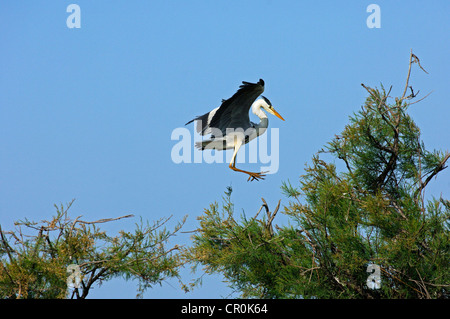 Grey Heron (Ardea cinerea) landing in a tree crown, Camargue, France, Europe - Stock Photo
