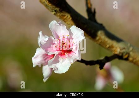 Almond blossom (Prunus dulcis) - Stock Photo
