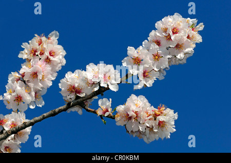 Branch with apple blossoms - Stock Photo