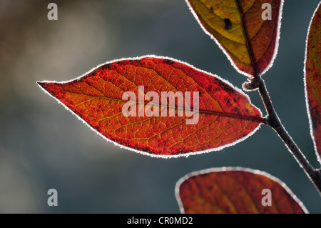 Red Honeysuckle (Lonicera xylosteum), leaf with a light covering of hoarfrost, Untergroeningen, Baden-Wuerttemberg - Stock Photo