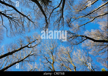 Looking up in the bare treetops of a beech forest in autumn, community of Berg, Lake Starnberg, Upper Bavaria, Bavaria - Stock Photo