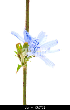 Common Chicory (Cichorium intybus), medicinal plant - Stock Photo