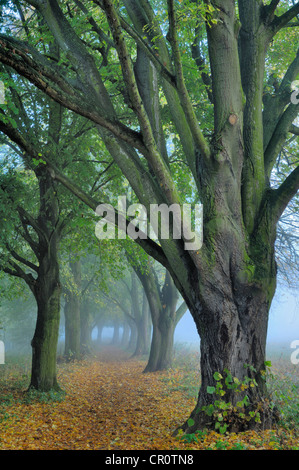 Large-leaved Linden (Tilia platyphyllos) in autumn - Stock Photo