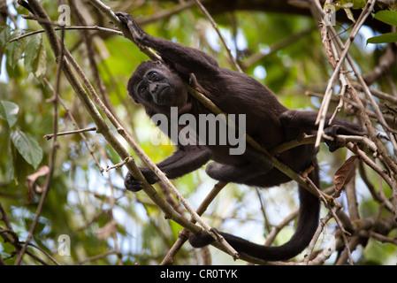 Mantled Howler Monkey, Alouatta palliata, in the rainforest of Soberania national park, Republic of Panama. - Stock Photo