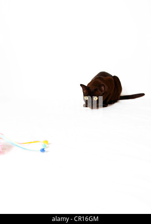 Burmese cat preying on cat toy - Stock Photo