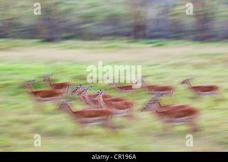 Group of female Impala (Aepyceros melampus), Lake Nakuru National Park, Kenya, East Africa, Africa, PublicGround - Stock Photo