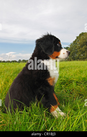 Bernese Mountain Dog (Canis lupus familiaris), puppy - Stock Photo