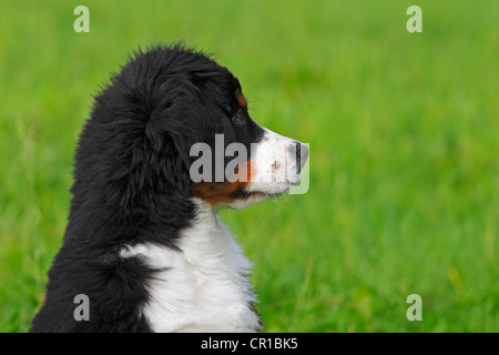 Bernese Mountain Dog (Canis lupus familiaris), puppy, portrait - Stock Photo