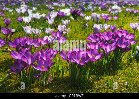 Flowering purple and white Crocuses (Crocus vernus hybrids) on a crocus meadow in spring - Stock Photo