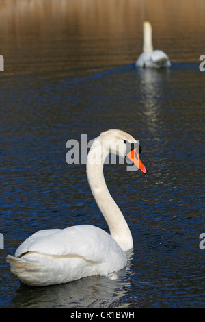 Pair of Mute Swans (Cygnus olor) on a lake - Stock Photo