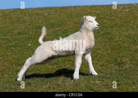 Lamb stretching after getting up, Easter lamb, Domestic Sheep (Ovis ammon f. Aries) on a dyke, Schleswig-Holstein - Stock Photo