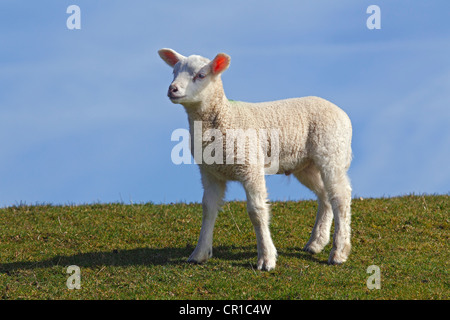 Lamb, domestic sheep, ewe lamb (Ovis ammon f. aries) standing on a dyke, Schleswig-Holstein, Germany, Europe - Stock Photo