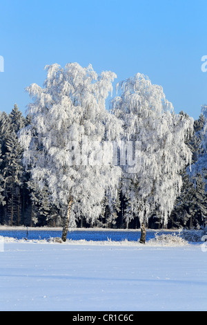 Frost-covered birch trees in a snow-covered landscape in winter, Schleswig-Holstein, Germany, Europe - Stock Photo