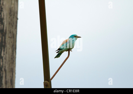 ROLLER ( Coracias garrulus) VERY RARE MIGRANT BIRD TO UK. WAS THE ONLY ONE IN THE UK IN 2012 - Stock Photo