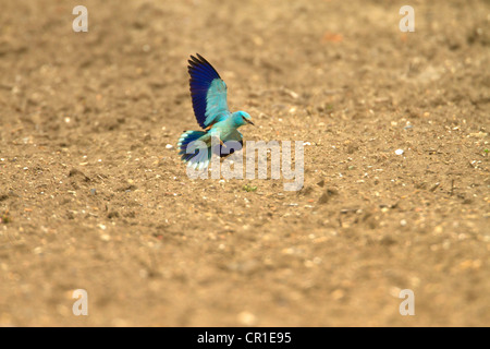ROLLER ( Coracias garrulus) VERY RARE MIGRANT BIRD. WAS THE ONLY ONE IN THE UK IN 2012 - Stock Photo