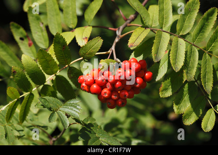 Red berries on branches of Rowan or Mountain-Ash (Sorbus aucuparia), Bavaria, Germany, Europe - Stock Photo