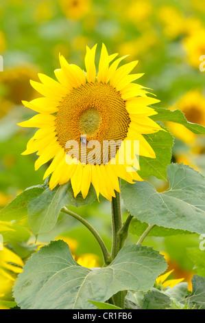 Sunflower (Helianthus annuus) in a sunflower field near Leipzig, Saxony, Germany, Europe - Stock Photo