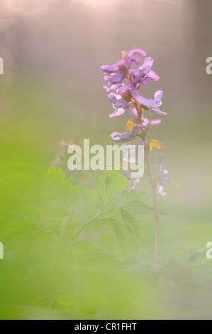 Bulbous Corydalis (Corydalis cava) - Stock Photo