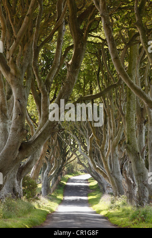 Dark Hedges, an avenue of Beech trees, Bregagh Road near Armoy, County Antrim, Northern Ireland, Great Britain, - Stock Photo