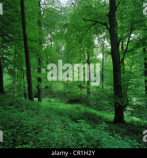 Leafy undergrowth in forest - Stock Photo