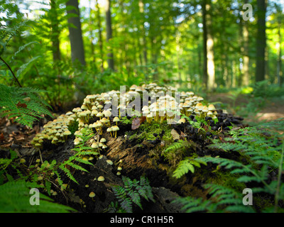 Mushrooms growing on log in forest - Stock Photo