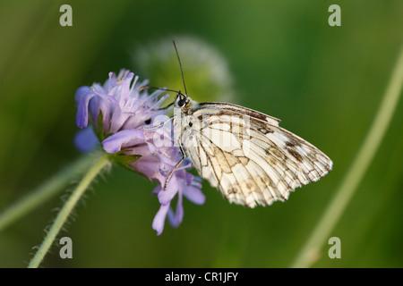 Marbled White (Melanargia galathea) butterfly, male, Franconian Switzerland, Bavaria, Germany, Europe - Stock Photo