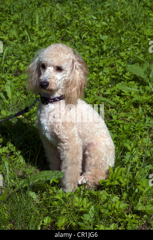 Mini poodle dog - Stock Photo