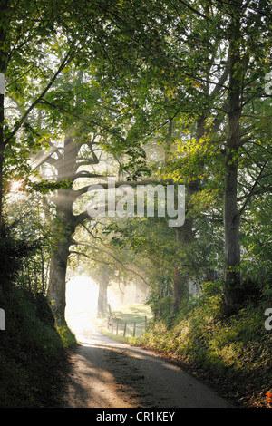 Early morning, beech-lined alley in Gasse near Gmund on Tegersee Lake, Upper Bavaria, Bavaria, Germany, Europe, - Stock Photo