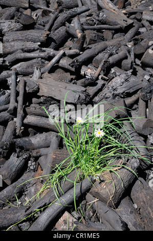 Fresh charcoal from a charcoal mound, Walpersdorf, Siegen-Wittgenstein district, North Rhine-Westphalia, Germany, - Stock Photo