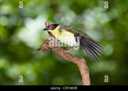 Figbird (Sphecotheres viridis), male, stretching its wings, rainforest, Daintree National Park, northern Queensland, - Stock Photo