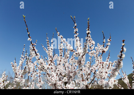 Apricot tree in blossom, flowering apricot tree (Prunus armeniaca), Wachau valley, Lower Austria, Austria, Europe - Stock Photo