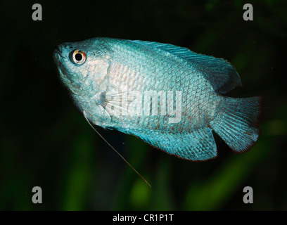 Dwarf gourami (Colisa lalia), male, neon blue cultivated form, freshwater aquarium fish, native to India - Stock Photo