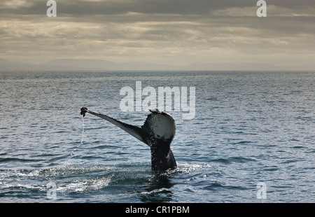Whales tail coming out of water - Stock Photo