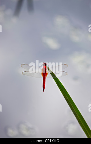 Close up of dragonfly on stalk - Stock Photo