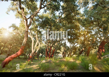 Stripped cork trees in rural forest - Stock Photo