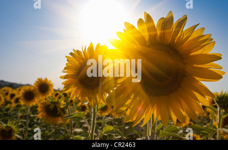 Close up of sunflowers in field - Stock Photo