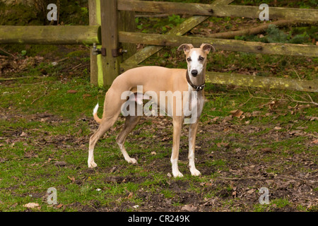 Whippet (Canis lupus familiaris) in rural scene - Stock Photo