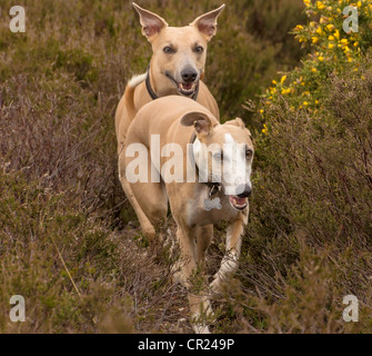 5 year old Whippets named Quinn (front) and Jazz (back) running towards photographer amongst heather and gorse in - Stock Photo