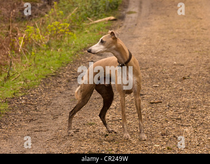 Whippet (Canis lupus familiaris) scanning area in woodland scene - Stock Photo