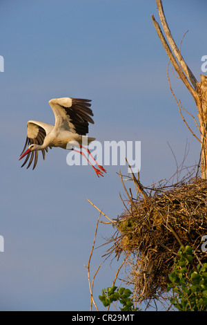 White Stork (Ciconia ciconia) taking off from its nest, in Monfrague, Spain - Stock Photo