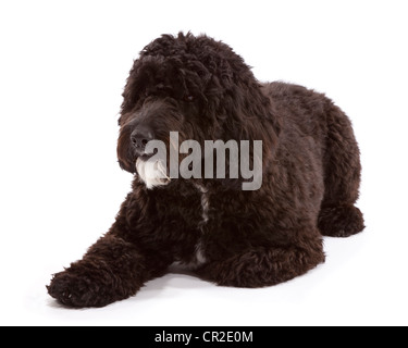 Cockerpoo (Cocker Spaniel Poodle Cross) male dog at 1 year old - Stock Photo
