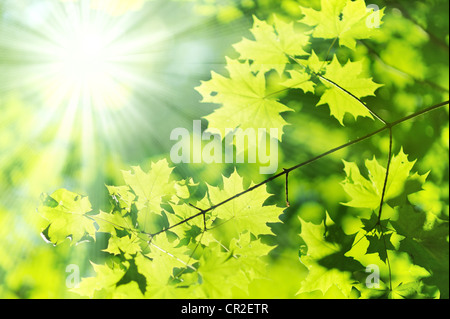 new Green and yellow maple leaf and sun ray - Stock Photo