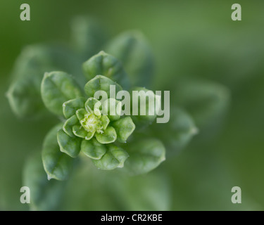A closeup image of a young spinach plant spiraling towards the sun - Stock Photo